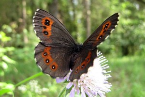 andorra_butterfly
