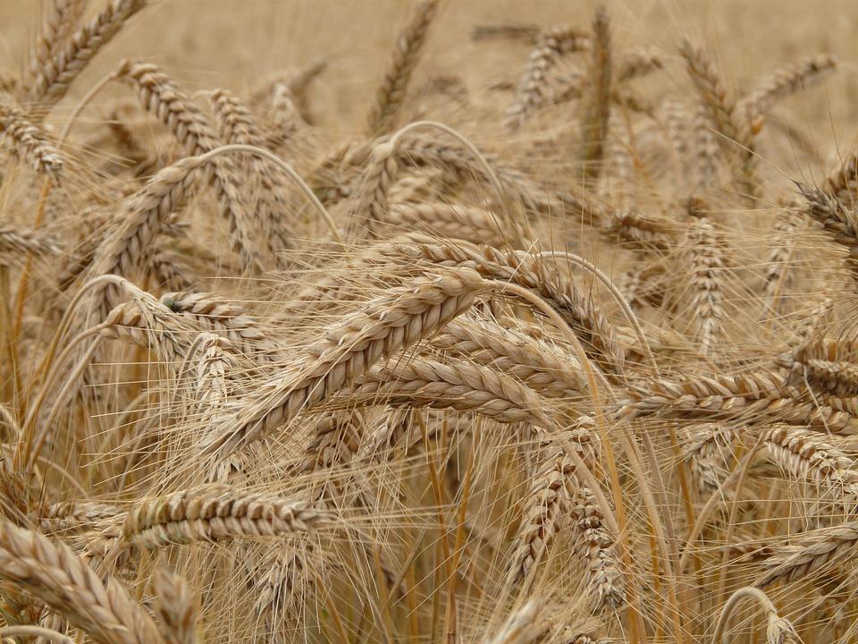 Batuts de blat: algunes dades interessants